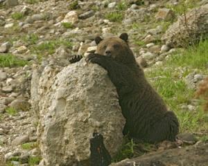 bear_on_rock