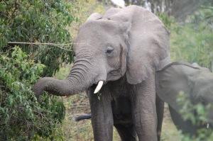 23July-Safari-Elephants (3)